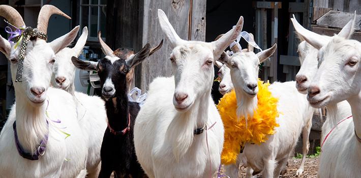 shavuot_goats-710x3501